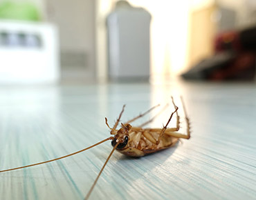 cockroach-solutions-gawler-pest-control
