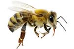 bees-gawler-pest-control