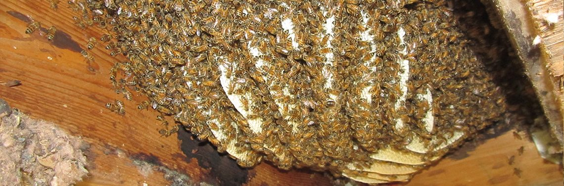 bees-wasps_banner_gawler_pest_control