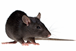 black_rat_gawler_pest_control