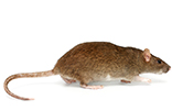 brown_rat_gawler_pest_control