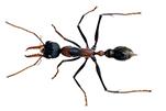 bull-ant-gawler-pest-control