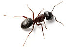 carpenter-ant-gawler-pest-control