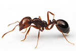 fire-ant-gawler-pest-control