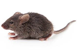 house_mouse_gawler_pest_control