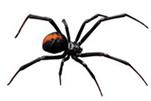 redback-spider-gawler-pest-control