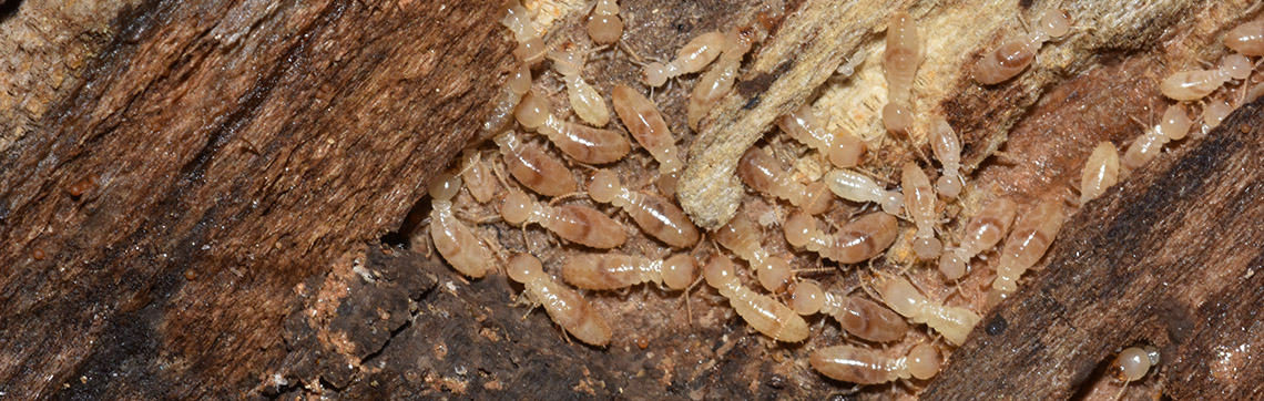 termite_banner_gawler_pest_control