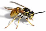 wasps-gawler-pest-control