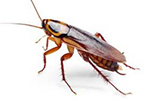 cockroaches-bug-gawler-pest-control
