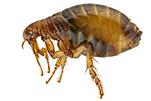 flea-bug-gawler-pest-control