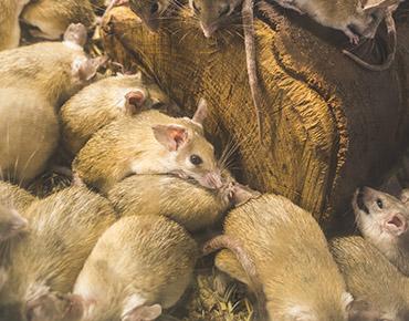 gawler-pest-control-mouse-plague-cta